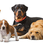 15 najdłużej żyjących ras psów