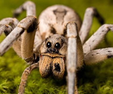 15 niesamowitych faktów o pająkach