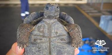 185 małych żółwi w walizce. Udaremniony przemyt na Galapagos