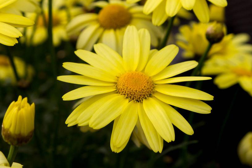 2 łyżki stołowe suszonych i sproszkowanych kwiatów arniki górskiej wymieszajmy z 8 łyżkami oliwy lub zwykłej wazeliny, a następnie smarujmy chore miejsca /123RF/PICSEL