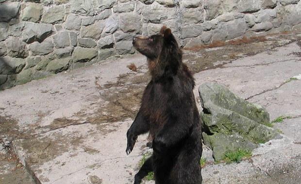 """""""2-metrowy miś w centrum miasta"""". Niedźwiedzie straszą Słowaków"""
