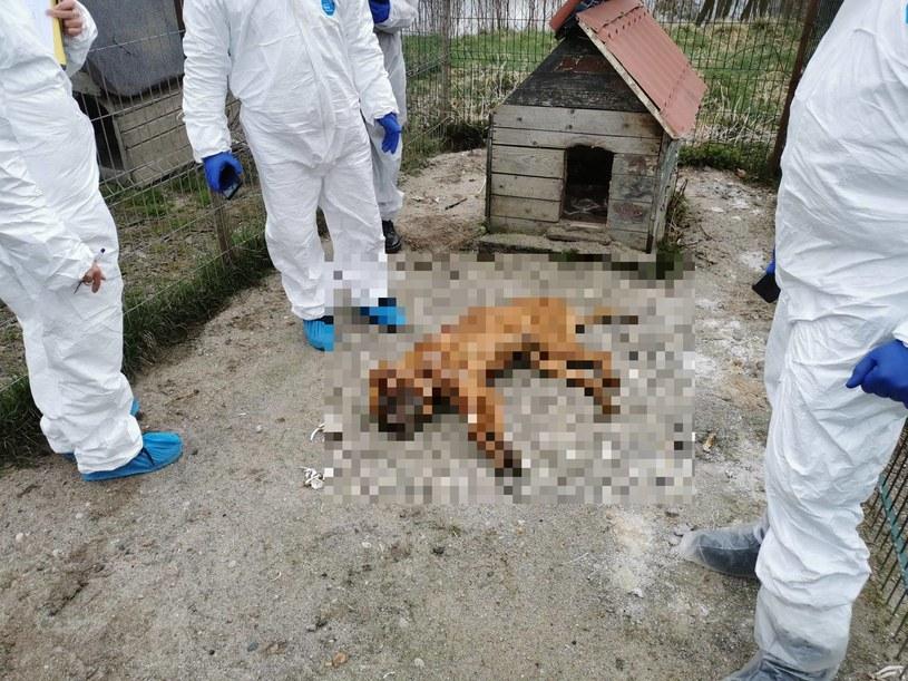 250 martwych psów. Właściciele pseudohodowli wychodzą na wolność /Facebook/OTOZ Animals /