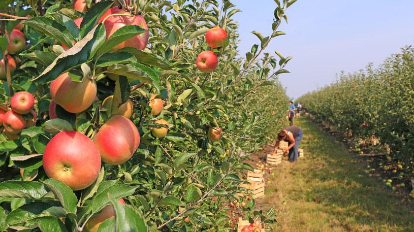 3 mln ton jabłek czeka na zbiory /123RF/PICSEL