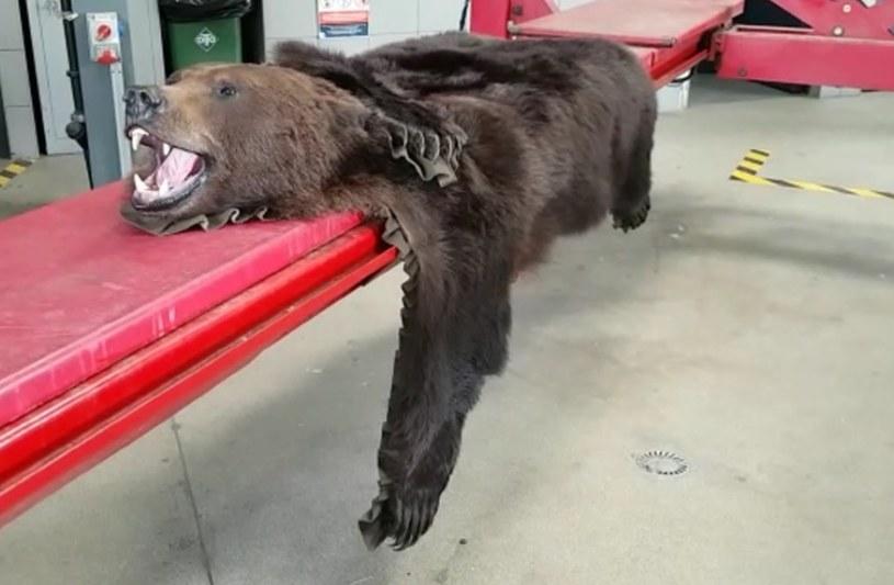 30-latek próbował przemycić skórę niedźwiedzia /Izba Administracji Skarbowej w Rzeszowie /materiały prasowe