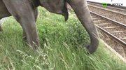 4,5-tonowy słoń spacerował po ulicach Berlina