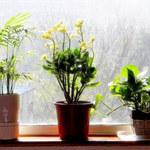 4 rośliny oczyszczające powietrze
