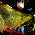 40 kilogramów plastikowych siatek znaleziono w brzuchu wieloryba