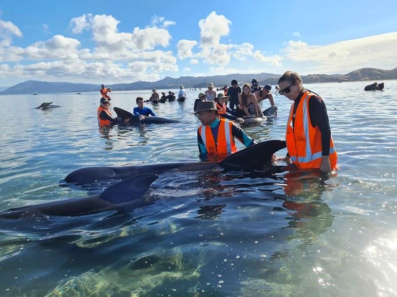 49 waleni utknęło na plaży na Wyspie Południowej /Project Jonah New Zealand  /facebook.com