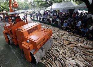 5 ton kości słoniowej zniszczono na Filipinach /DENNIS M. SABANGAN /PAP/EPA