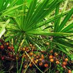7 właściwości palmy sabałowej