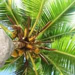 8 sposobów na wykorzystanie palmy kokosowej