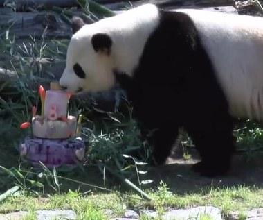 8. urodziny pandy. W prezencie dostała tort z owoców i bambusa