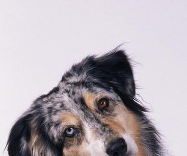 9 naturalnych sposobów, by pozbyć się pcheł u psa