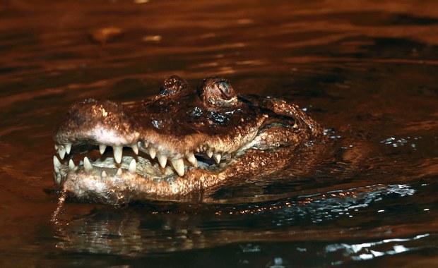 90. urodziny aligatorzycy Marty. Jest najstarszym zwierzęciem w Europie!