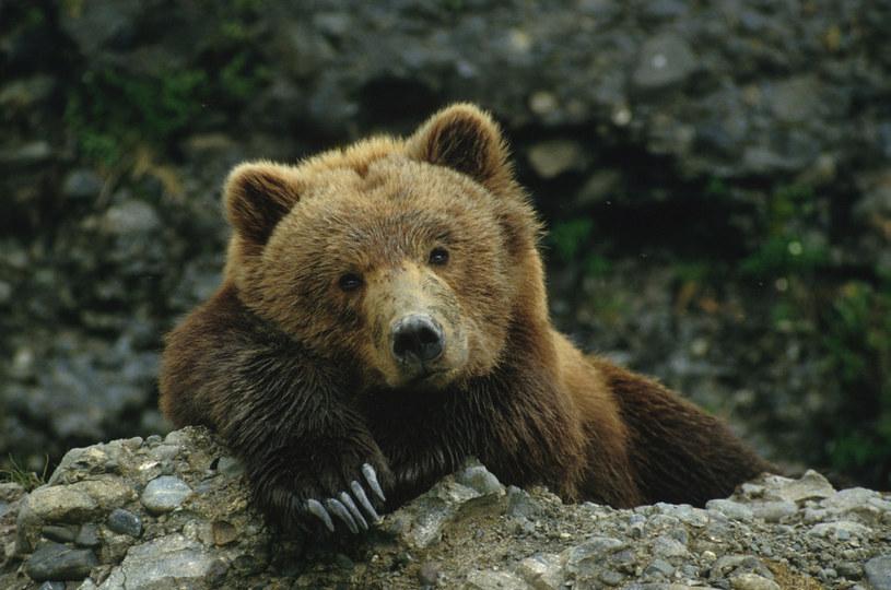 A niedźwiadki nie chca spać... /East News