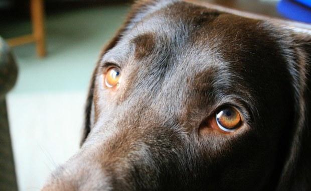 A wszystko to przez te psie oczy...