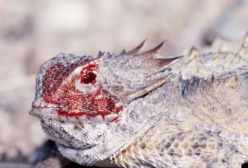 Aby atak krwią był udany, jaszczurka musi czekać do ostatniej chwili /John Cancalosi / ardea.com /East News