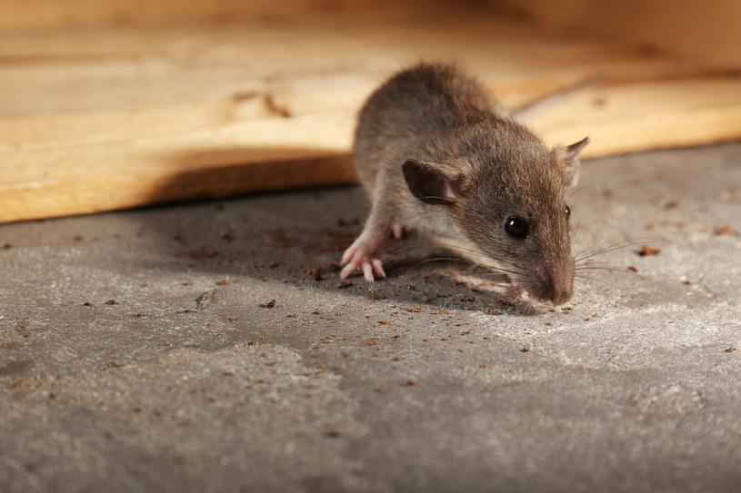 Aby odstraszyć myszy, warto rozłożyć w domu kawałki waty nasączone octem /123RF/PICSEL
