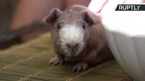Adoptowała łysą świnkę morską. Idealnie pasuje do jej rodzinki kotów sfinksów