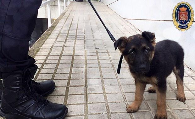 Adoptowali skatowanego szczeniaka. Teraz szkolą go na psa policyjnego