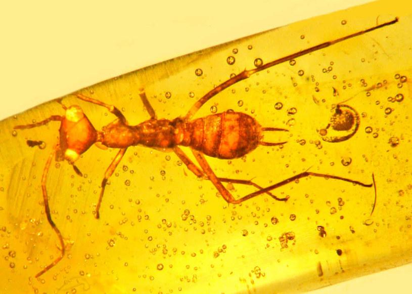 Aethiocarenus burmanicus w pełnej krasie /materiały prasowe