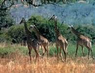 Afryka: żyrafy na sawannie Tanzanii /Encyklopedia Internautica