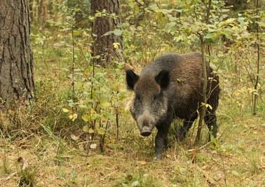 Afrykański Pomór Świń: Martwe dziki znalezione pod Warszawą