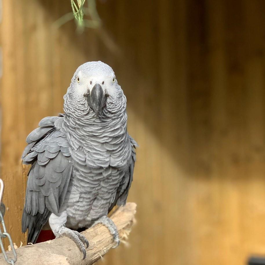Afrykańskie papugi szare zostały adoptowane w sierpniu przez Lincolnshire Wildlife Park w Friskney i razem poddane kwarantannie /Lincolnshire Wildlife Park /
