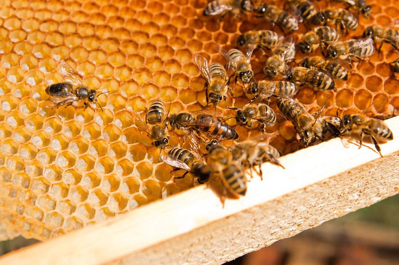 Afrykańskie pszczoły są bardziej agresywne od europejskich kuzynów /123RF/PICSEL
