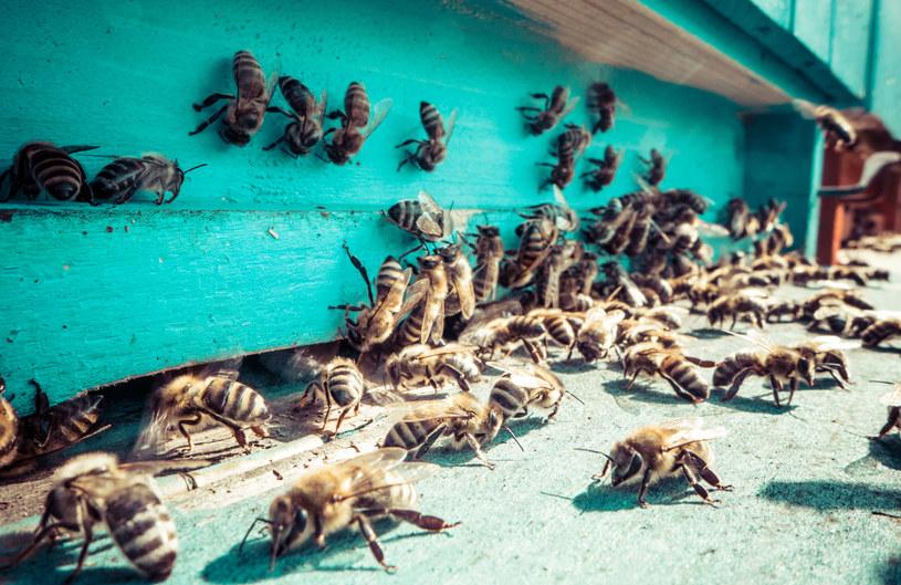 Afrykańskie upały to dla pszczół ogromne zagrożenie życia /123RF/PICSEL