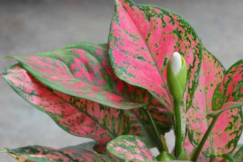Aglaonema - jedna z wyjątkowych różowych roślin /©123RF/PICSEL