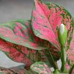 Aglaonema: Szybko rośnie, pięknie dekoruje, łatwa w uprawie