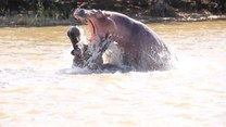 Agresywna walka hipopotamów