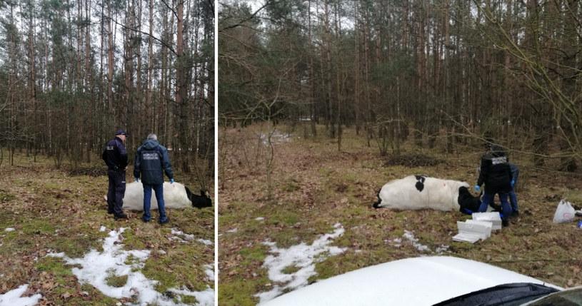 Agresywnego byka odstrzelił leśnik /KPP w Mławie /Policja