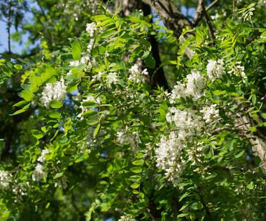 Akacja. Popularne drzewo o niezwykłych właściwościach