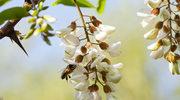 Akacja  – siła białych kwiatów