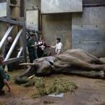 Akcja ratunkowa w zoo w Poznaniu. Słonica Linda walczy o życie