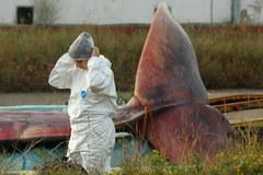 Akcja wydobycia z Bałtyku martwego wieloryba