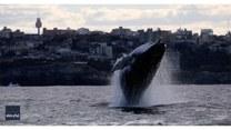 Akrobacje wielorybów u wybrzeży Australii. Mieszkańcy Sydney mogli obejrzeć wspaniały show