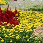 Aksamitka: Pięknie dekoruje, leczy, odstrasza gryzonie i szkodniki