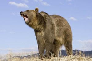Alaska: Przez tydzień atakował go niedźwiedź. Rozpaczliwie prosił o pomoc