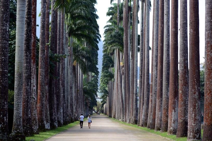 Aleja Palm Królewskich w ogrodzie botanicznym w sercu Rio /123/RF PICSEL /123RF/PICSEL