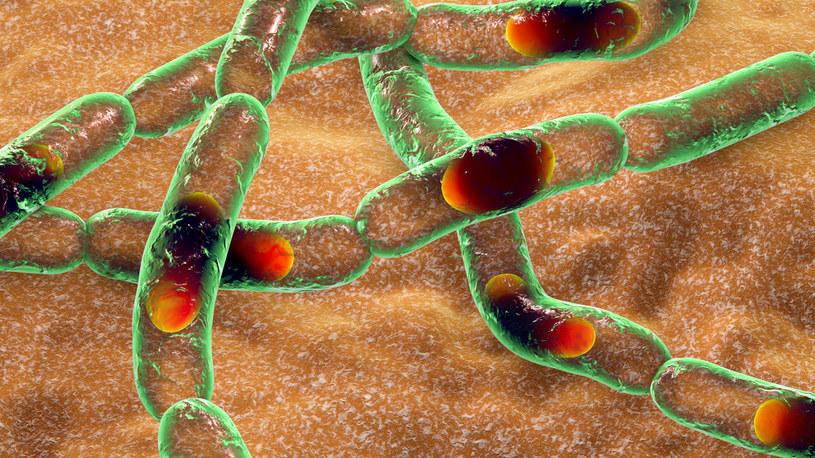 Alert epidemiczny na zachodzie kraju po prawdopodobnych infekcjach wąglikiem /123RF/PICSEL