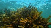 Algi brunatne i kofeina- biologiczny fenomen