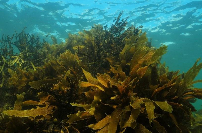 Algi brunatne to skarb z mórz /123RF/PICSEL
