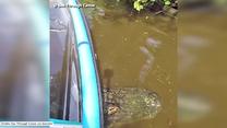 Aligator utknął pod kajakiem