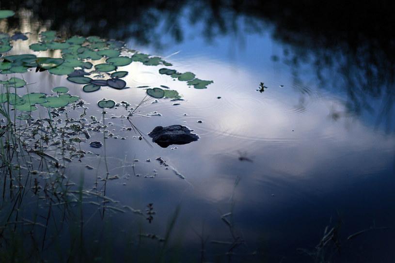Aligator w Parku Narodowym Everglades /Joe Raedle  /AFP/Getty