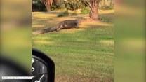 Aligator wybrał się na spacer po osiedlu
