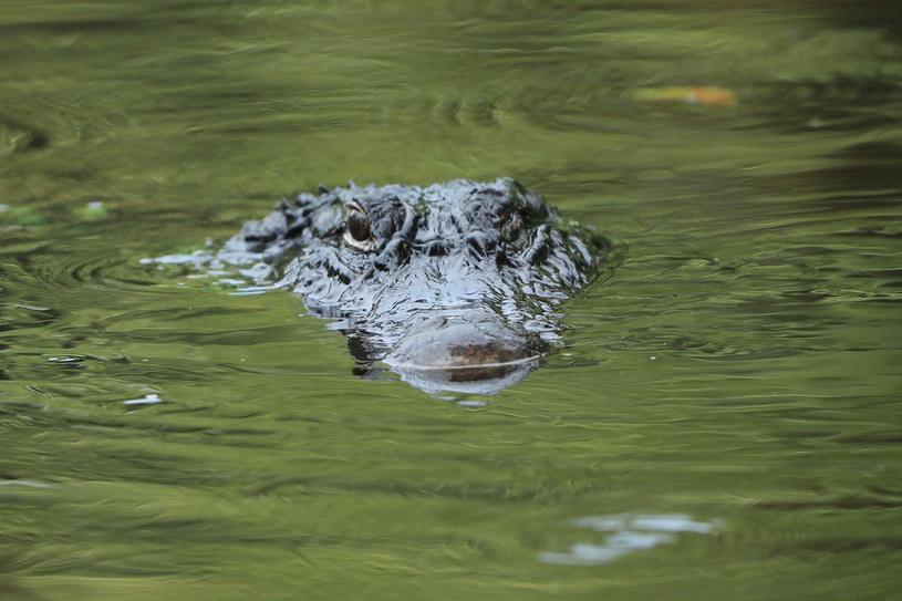 Aligatora nad Odrą zauważyli spacerowicze, zdj. ilustracyjne /GETTY IMAGES NORTH AMERICA SAM GREENWOOD/SG /AFP