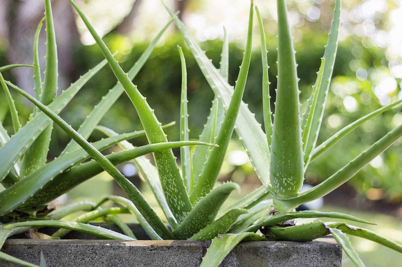 Aloes błyskawicznie się rozrasta! /123RF/PICSEL